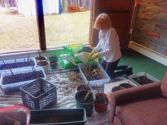 Mary planting dahlia\'s in the Great Room to start them for summer.