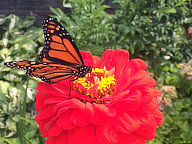 Butterfly fueling up on Zinnia at the Birch Ridge Inn as the southern migration begins